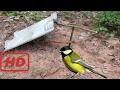 Najbolji Paiute Zamka Ptičje Ptice U Akciji - Kako Uhvatiti Pticu Koristeći Paiute Zamku Za Rupu