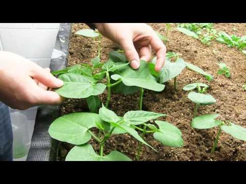 100% Organic Indoor Garden Update & CFL Growlight 101