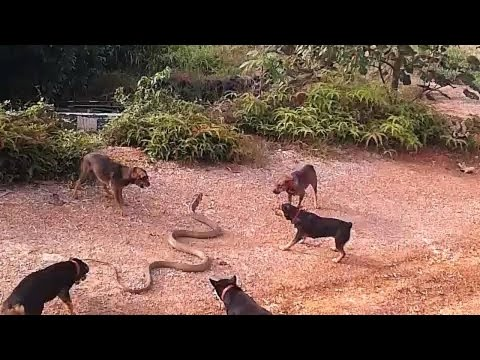 5 smart dogs use tactics to beat a HUGE King Cobra! 😱😬 These are hunting dogs that work in a pack,