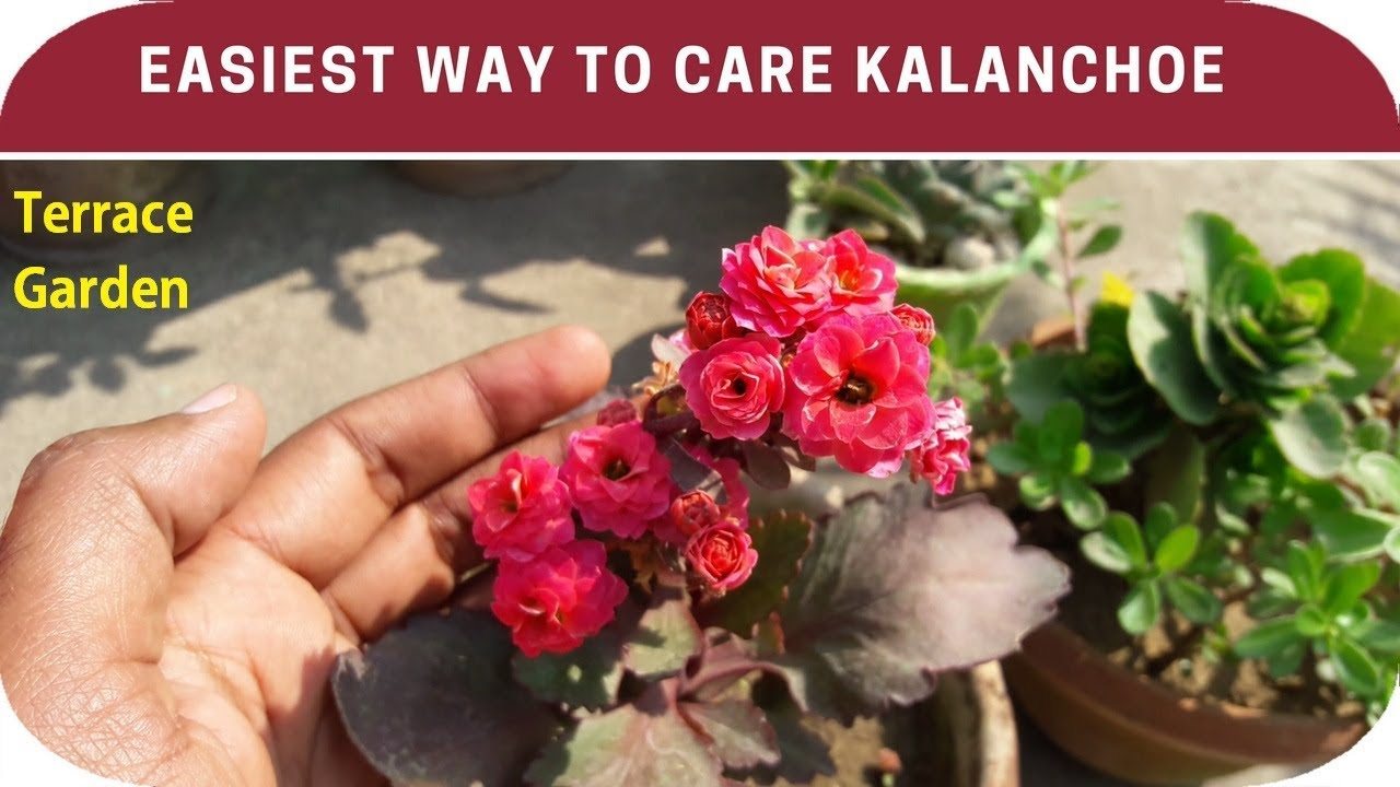 How to care kalanchoe plant.// Get More Blooms In Kalanchoe Plants Taking Care Of Kalanchoe on taking care of begonias, taking care of wisteria, taking care of fuchsia, taking care of bromeliads, taking care of primrose, taking care of succulents, taking care of hydrangea, taking care of ferns, taking care of amaryllis, taking care of peace lily, taking care of asparagus, taking care of aloe, taking care of poinsettia, taking care of pansy, taking care of ivy, taking care of iris, taking care of phlox, taking care of clematis, taking care of orchids, taking care of philodendron,