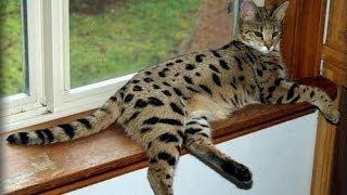 Шикарный кот породы Ашера (Cat Asher)
