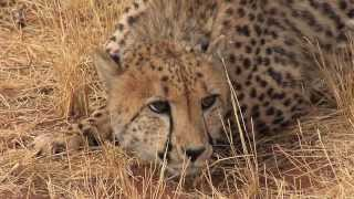 Cheetah Conservation Fund - Namibia