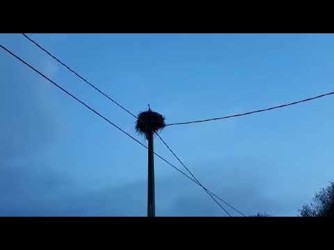 Las cigüeñas anidan en O Deza