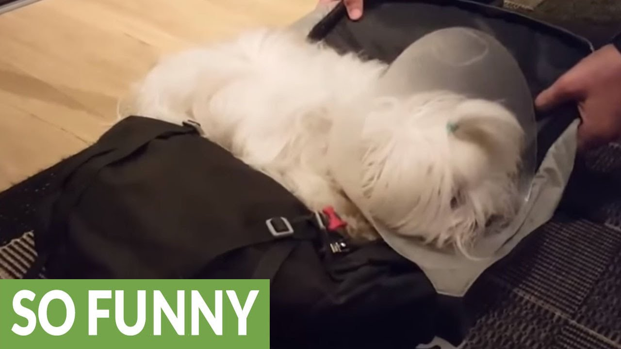 Dog Refuses To Let Owner Leave For Vacation