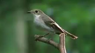 A wife & a mistress: The Pied Flycatcher Bird - BBC Wildlife