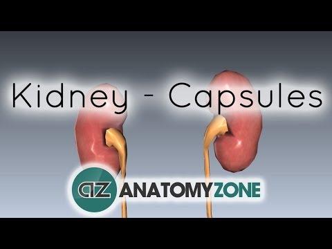 Capsules of the Kidney - Anatomy Tutorial