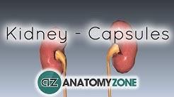 hqdefault - Adipose Capsule Of Kidney
