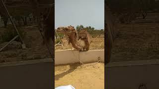 Верблюд бухает Тунис