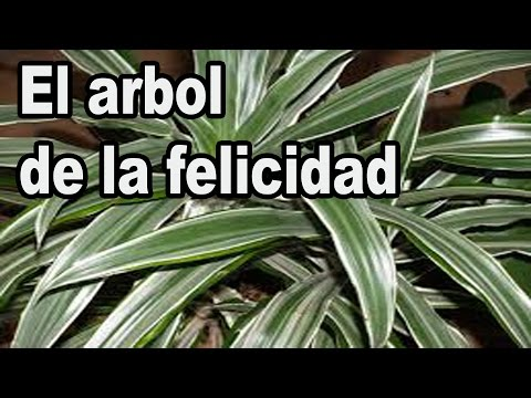 El Arbol De La Felicidad Dracaena deremensis warneckei