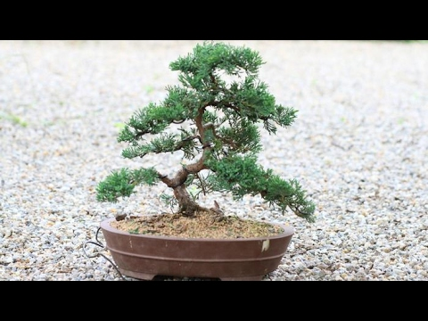 bonsai tree juniper wiring 1 youtube rh youtube com Juniper Bonsai Before and After Blue Star Juniper Bonsai
