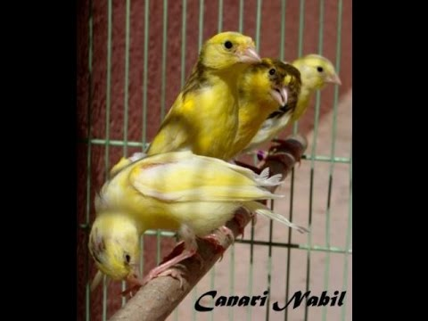canaris harz cd complet a