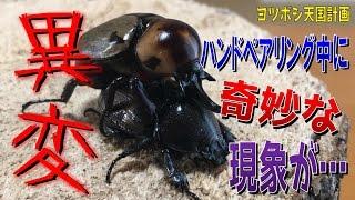 昆虫採集☆カブトムシ☆クワガタムシ ヨツボシヒナカブトのペアリングで異...