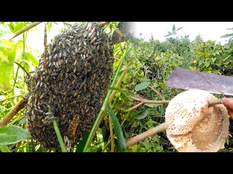 Easy Harvesting Honey from Honey bees in Cambodia of Asia, Khmer Bees, Life of Natural Foods