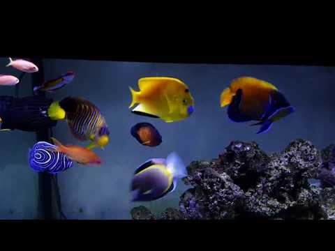 Marine Angelfish FOWLR