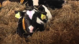 Herzenssache - Kuh-Komfort auf dem Wirtschaftshof Sachsenland