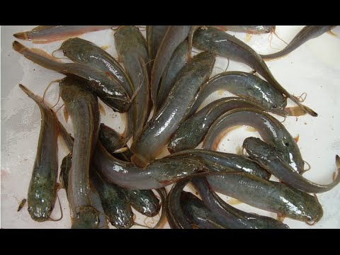 Cambodia Feshwater Cat Fishes & Eel Fishes | Khmer Fishes ... | 480 x 360 jpeg 33kB