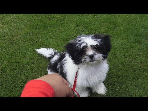how-i-train-small-toy-breed-puppy-to-heel