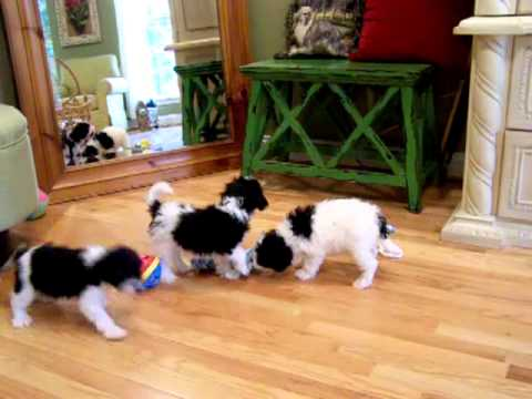 cavachon-puppies-in-the-mirror