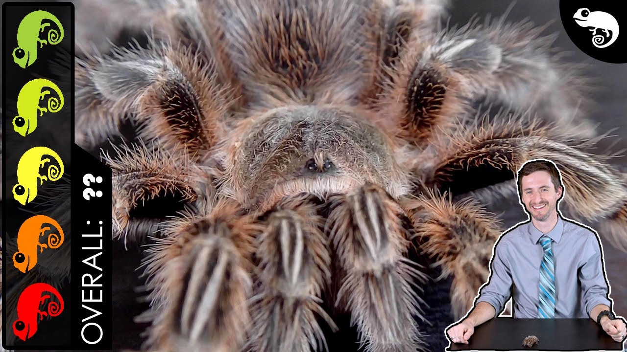Rose Hair Tarantula, The Best Pet Spider?
