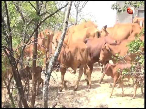 Foot and Mouth disease breaks out in west Pokot county