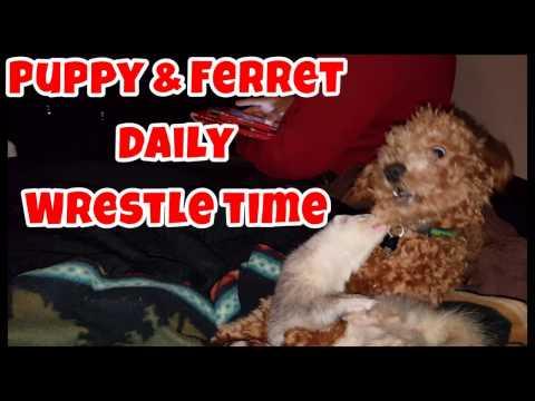 Puppy & Ferret Daily Wrestle Time - Cute Animals Inside 4 - VOL. 48