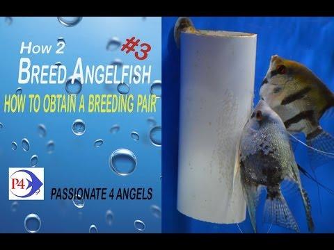 Breeding Angelfish Part3   How To Get Breeding Pairs #97