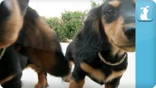 Dachshund Puppies - Puppy Love