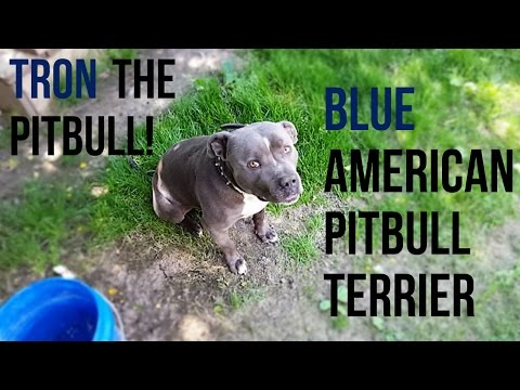 "Meet Tron The Blue Pitbull ""Read Video Description"""