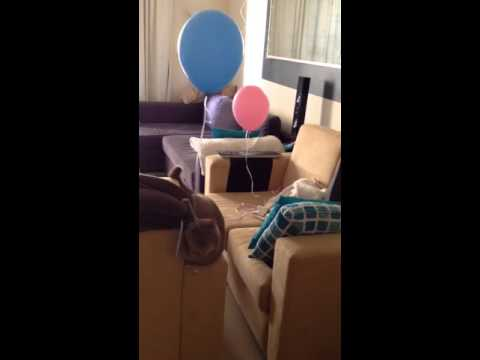 British shorthair cat loves balloons