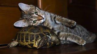 Коты VS Черепахи! Забавная Подборка! | Cats and Turtles.