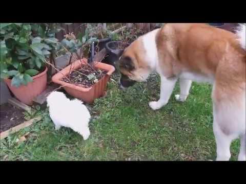 Akita Dog meets Bichon Maltese puppy