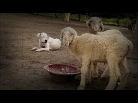 An Afghan Kuchi, a dogo Argentino & a Pitbull together as Livestock guardian dogs.