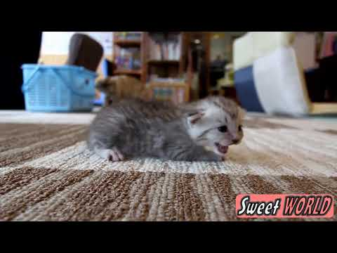 Baby Kitten Meowing   Too Cute!