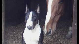 What Happens When A Bull Terrier Meets A Horse?