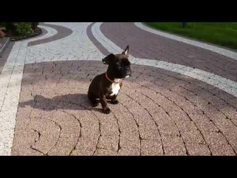 tiny dog French Bulldog