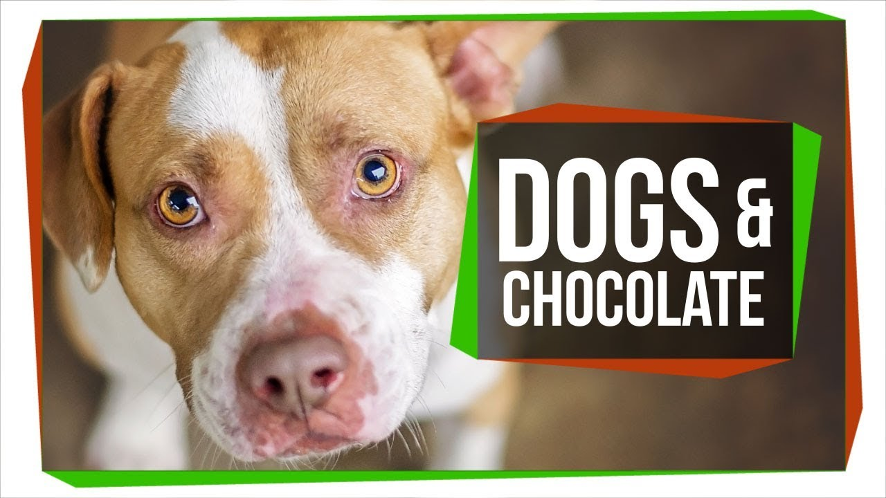 Why Can't Dogs Eat Chocolate? - YouTube