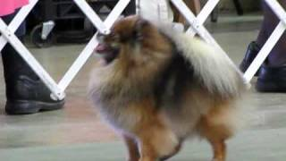 Cute Akc Pom Poms Pomeranian Dog Show In Kansas