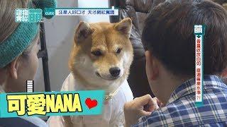 【萌寵】柴犬NANA駕臨 一秒變格格