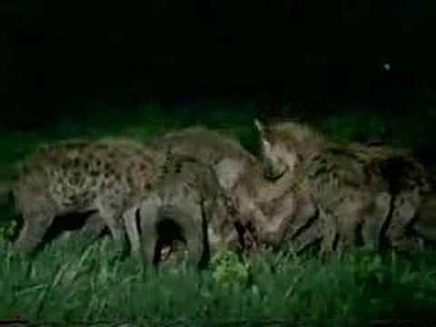 Lion vs. Hyena War - YouTube