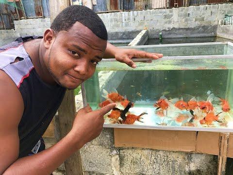 Otro Alimento Necesario Para Nuestros Goldfish