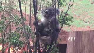 The Koala in the theme park - Hong Kong Ocean Park (海洋公園的澳洲樹熊)