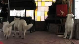 Белая Швейцарская Овчарка(, 2014-04-25T20:17:38.000Z)