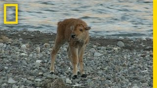 Baby Bison Takes on Wolf and Wins | America's National Parks MP3