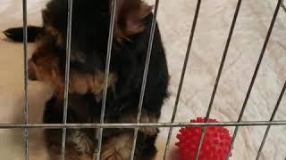 Собачки компаньоны маленького размера - Йоркширский терьер щенки продажа. Купить йорка недорого.