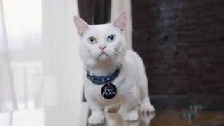 Манчкин ➠ Узнайте все о породе котов с короткими лапами