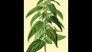 ORTIGA (Urtica dioica) PLANTAS MEDICINALES