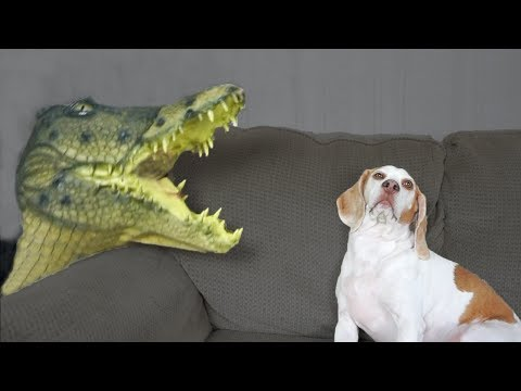 Dog vs Crocodile: Funny Dog Maymo