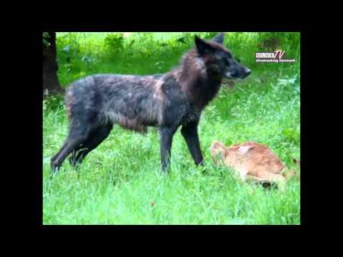 Danish zoo wolf eating   Ulv i dansk Zoo æder