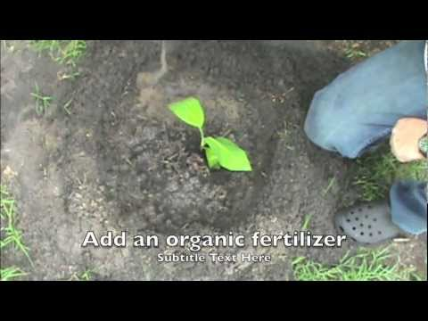 How To Grow Banana Trees