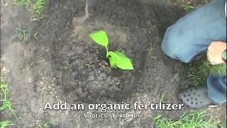 How to grow banana trees